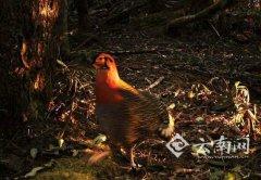 灰腹角雉现云南:系国家一级重点保护鸟类,科研价值高