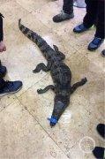 看呆!两个小男孩抬着鳄鱼来报案:在小区里捡到的