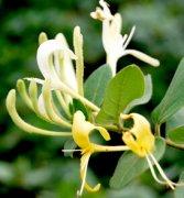 金银花茶的功效与作用 可治慢性咽炎
