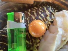渔民捞海螺现稀有珍珠:直径达2厘米 专家都直呼罕见