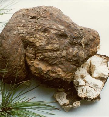 猪苓的功效与作用 猪苓常用的中医选方