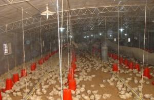 大学生养鸡创业战胜理想与现实的残酷