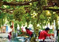 在家酿造葡萄酒不要放二氧化硫