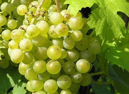 三种备受甜酒宠爱的白葡萄品种