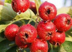冬季吃六种水果有益健康