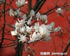 京城5大玉兰花观赏胜地