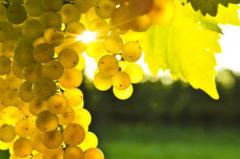 关于白葡萄品种 你了解多少?