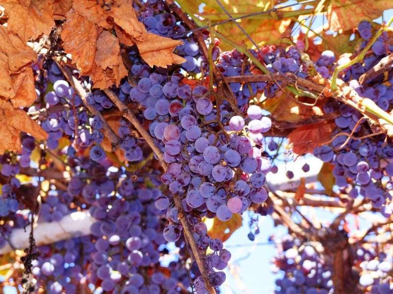 美洲葡萄知多少?