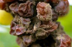 不同霉菌如何影响葡萄酒的风味?