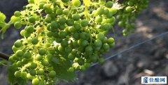富尔民特:酿造匈牙利顶级葡萄酒的品种