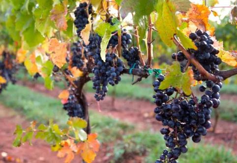你了解这些红葡萄品种吗?