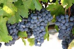 聊聊那些最常见的美国本土葡萄品种