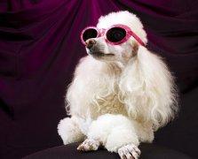 网文路途:沙皮狗的起源和沙皮犬的个性特点