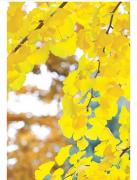 银杏树的作用 银杏树有哪些价值呢?