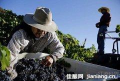 2013年葡萄大丰收带来的烦恼