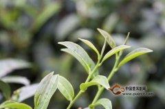 制作茶叶应该注意些什么?