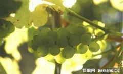 南极星长相思葡萄酒:引领新西兰葡萄酒风潮