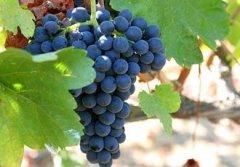 3款著名葡萄酒中的香料味及饮法