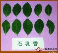 武夷岩茶之石乳香