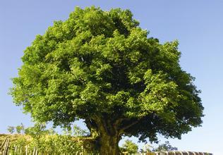 浅谈古茶树的文化价值