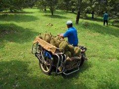 天猫一分钟卖出8万个泰国金枕头榴莲 泰国副总理:香蕉
