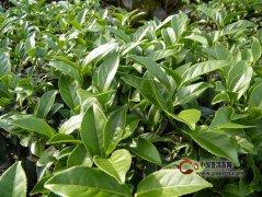 怎样来判别春茶、夏茶、秋茶和冬茶之间的区别?