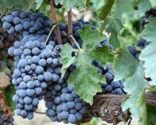 你对意大利葡萄品种桑娇维塞了解吗?