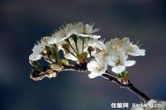 春意盎然樱桃花开 万枝花朵恰如雪天