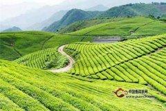 庐山云雾茶是什么茶