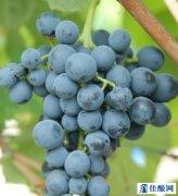 酿造波特酒用那几种常见的葡萄呢?
