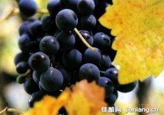 盘点7个不同地域特色红葡萄品种