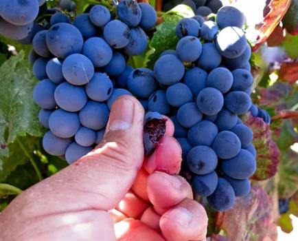你了解染色葡萄品种吗?