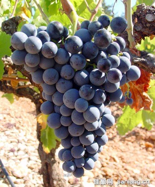 """皮诺塔吉:南非备受瞩目的""""明星""""葡萄"""