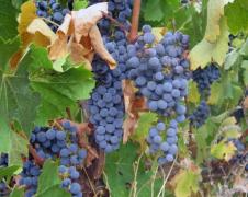 初学者应该了解的8个葡萄品种