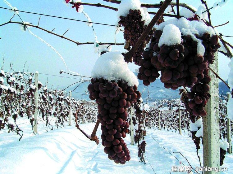 冰酒:一种在严寒中收获的酒