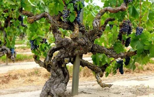 """""""老藤葡萄酒""""是好酒的标志吗?"""
