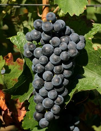 世界十大酿酒葡萄品种概览