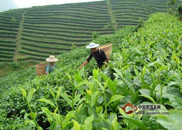贵定县云雾茶的历史来源