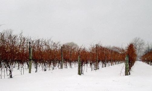 尼亚加拉葡萄酒产区自助游