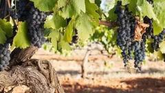 什么是老藤葡萄酒?
