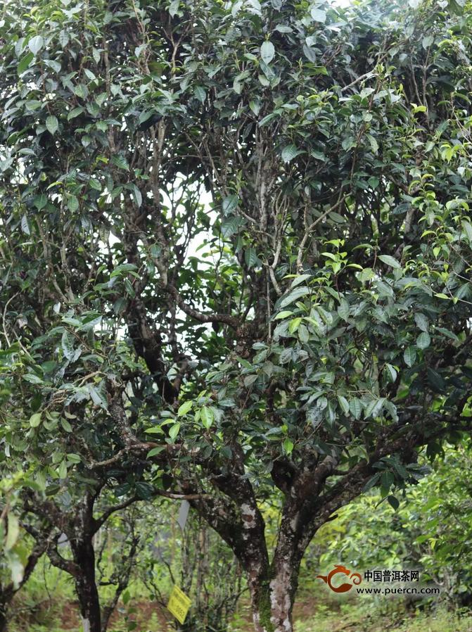 为什么云南的白茶大多用景谷的料?