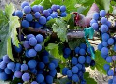 """为什么说品丽珠是""""多才多艺""""的葡萄品种?"""