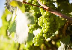 希腊葡萄酒入门指南