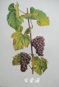 都是白葡萄品种 这三个皮诺有啥区别?