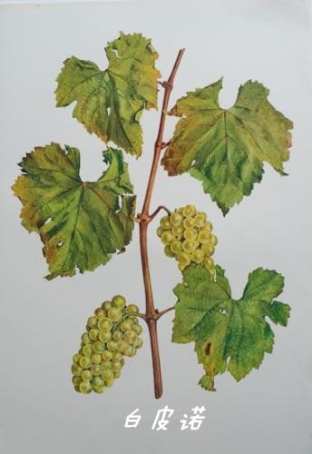 都是白葡萄品种,这三个皮诺有啥区别?