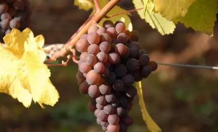 酿酒葡萄与平常吃的葡萄究竟有何不同?
