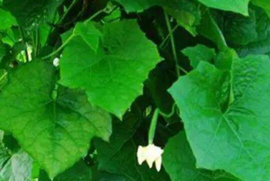 丝瓜叶煮水的功效与作用
