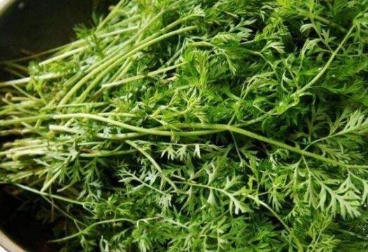 胡萝卜缨子的功效和作用